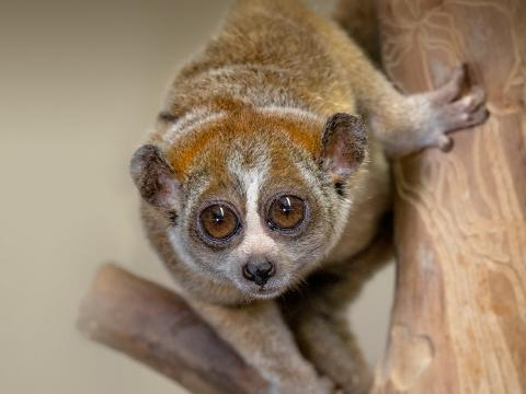 Pygmy slow loris
