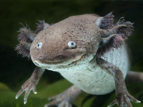 Gray axolotl floating in an aquarium.