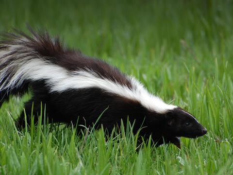 Striped skunk walking across green grass.