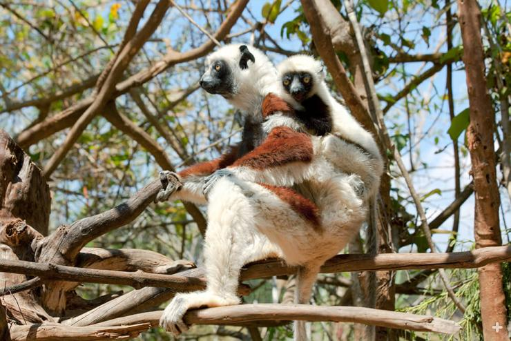 Until they are about four months old, Coquerel's sifaka young ride on their mother's back, or on the back of another other group member, as they travel to find food.