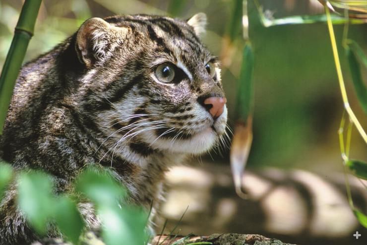 If you think fishing cats look cute and cuddly, think again—these small cats can be very aggressive.