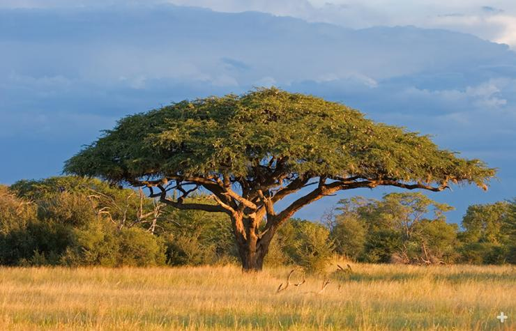 Acacia trees are icons of the African savanna, as seen here in Zimbabwe.