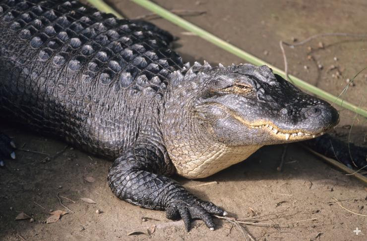 Once listed as endangered, today the American alligator is the most numerous species of crocodilian on the planet.