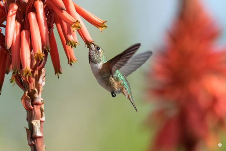 A rufous hummingburd sips nectar from the tubular bloom of an aloe.