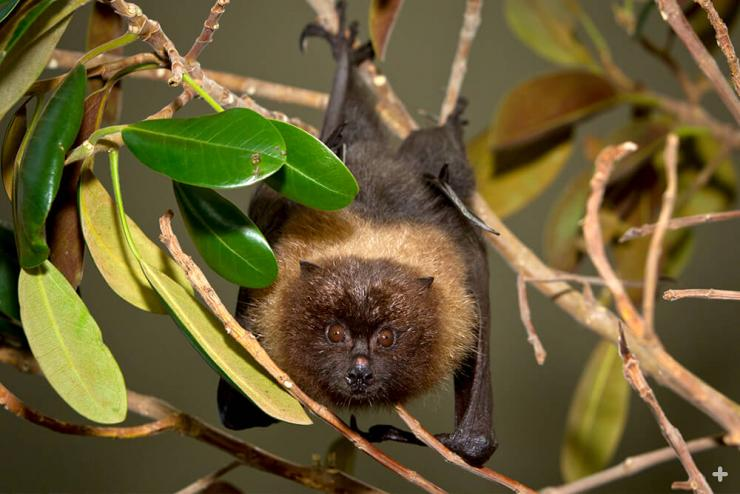 Rodrigues fruit bats can be observed up close at the Safari Park.