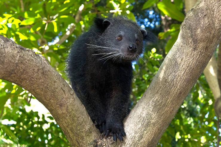 Binturongs are at home in the trees.