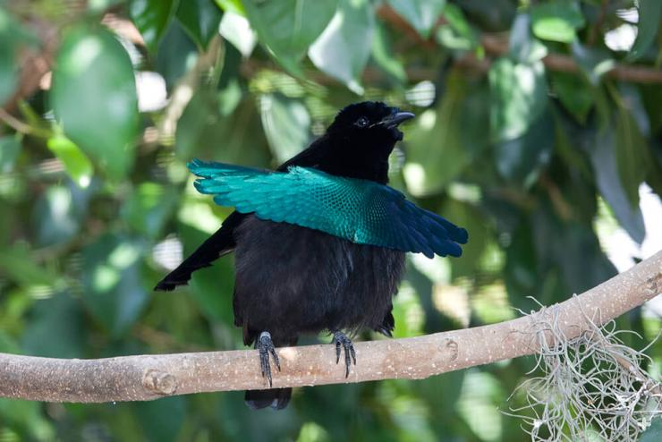 The male superb bird of paradise has iridescent blue breast feathers that stick out like a splashy apron.