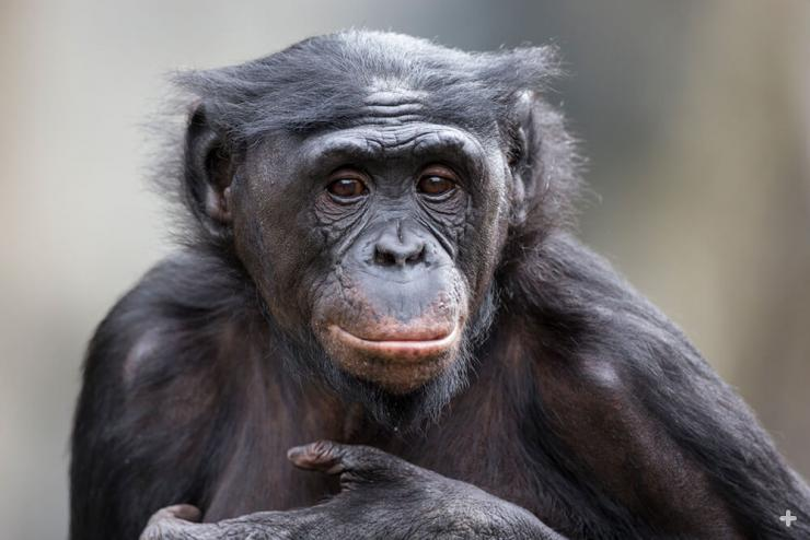 "Bonobos are identifiable by their ""hair"" neatly parted down the middle of their head"