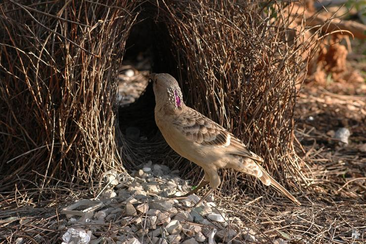 Great gray bowerbird males prefer shiny, silvery objects to decorate their bower.