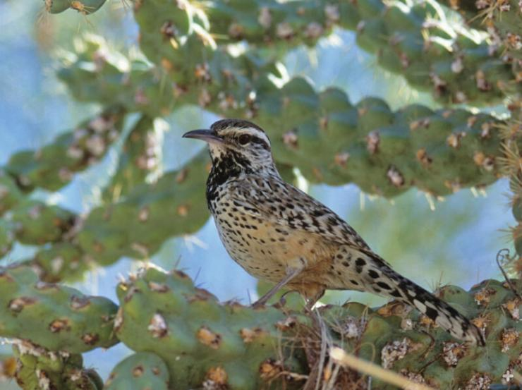 The coastal cactus wren relies on cactuses for nest sites.
