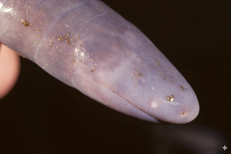 Caecilian eyes are tiny in some species or hidden under the skin or skull in other species, making just gray bumps for eyes.
