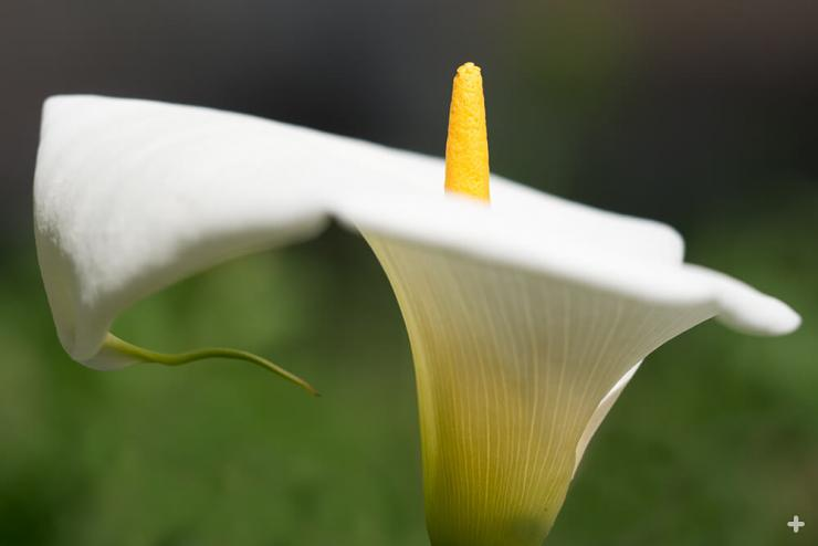 The white, petal-like spathe of a calla lily turns back to reveal a central yellow spadix, which holds many individual flowers.