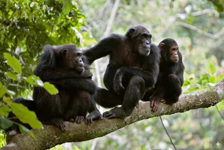 Chimpanzees are highly social apes.