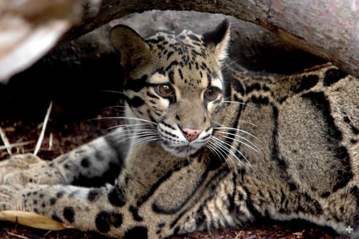 The clouded leopard's enormous paws can wrap around a tree.