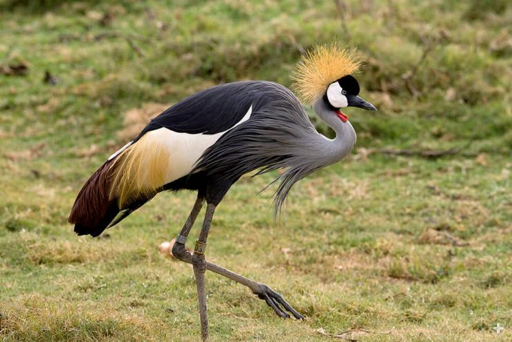 East African crowned cranes are famous for their elaborate mating rituals, which include a spectacular display of head bobbing, leaps, bows, and wing fluttering.