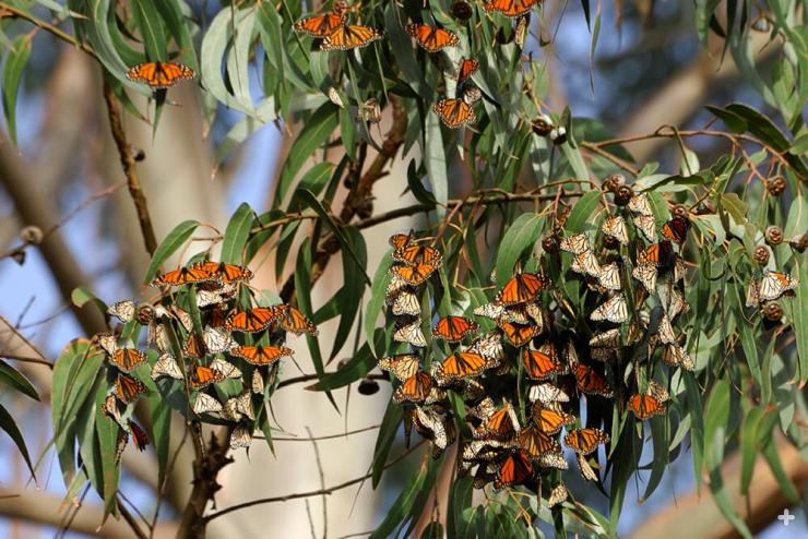 Eucalypts have become established all over the world. Here, monarch butterflies sun themselves on a eucalyptus tree in California.