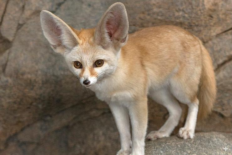 A fennec fox's large ears not only help it listen for prey underground, but also dissipate excess heat.