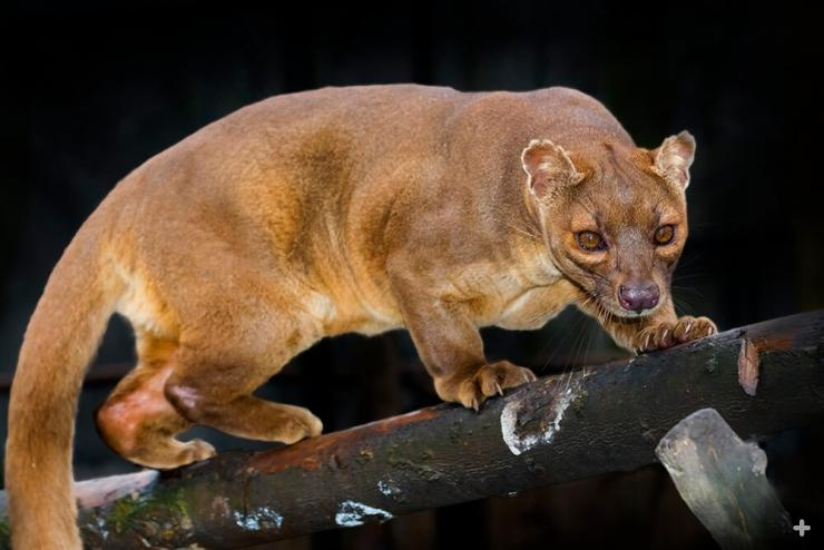 The fossa is the top predator on the island of Madagascar.
