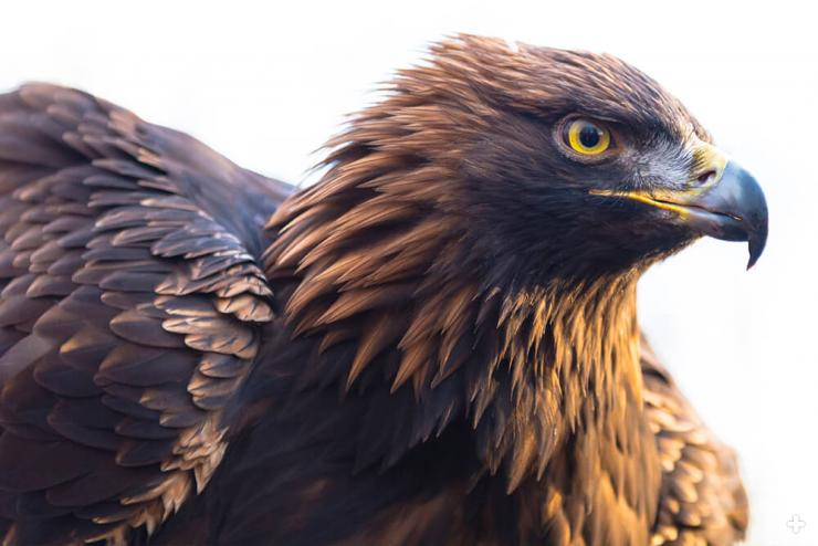 A golden eagle can rotate its head around 270 degrees, to get a better view.