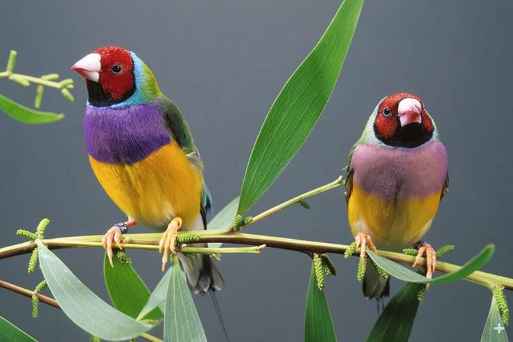 Adult male Gouldian finches have bright purple breast feathers, while adult females' are a dull purple.
