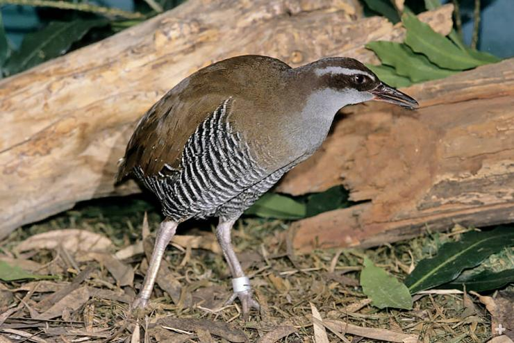 The Guam rail, like other island rails, is virtually flightless; but it has well-developed leg muscles, and it can swim and dive.
