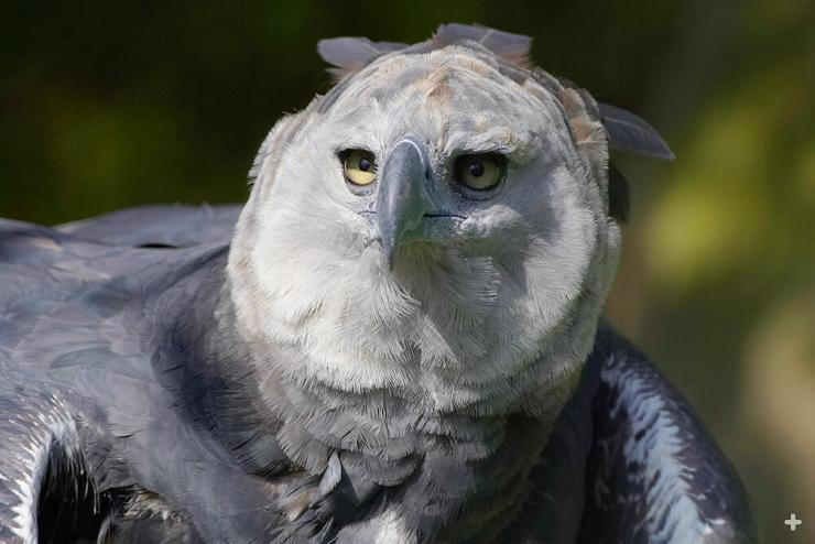 The harpy eagle's smaller gray feathers create a facial disk that may focus sound waves to improve the bird's hearing, similar to owls.