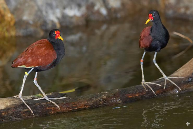 Jacanas, like these wattled jacanas, have extra-long toes to help them walk across floating lily pads.