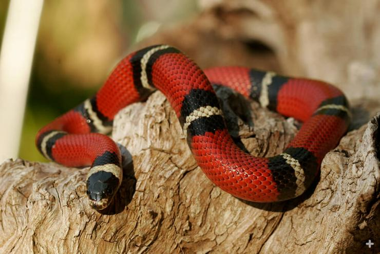 Sinaloan milk snakes are found in open grasslands, desert and dry lowlands of Mexico, in Sinaloa, Sonora, and Chihuahua.
