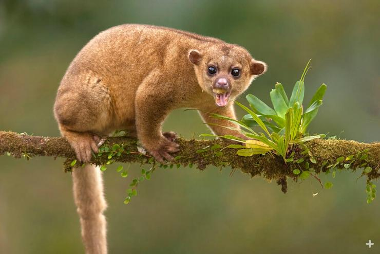 Although classified as a carnivore, a kinkajou's favorite food item is fruit.