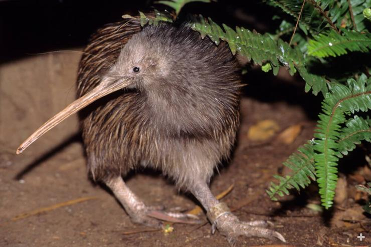 About the size of a chicken, the kiwi is a small, flightless, and nearly wingless bird found only in New Zealand.