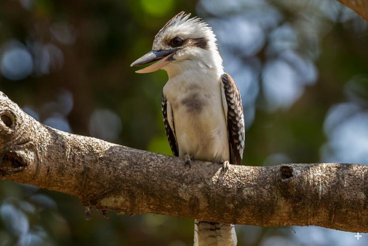 Laughing kookaburras are native to woodlands and open forests in Australia, where they perch in large trees and nest in cavities of tree trunks and branches.