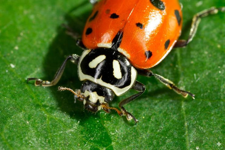 The ladybug's head houses its mouthparts, compound eyes, and antennae.
