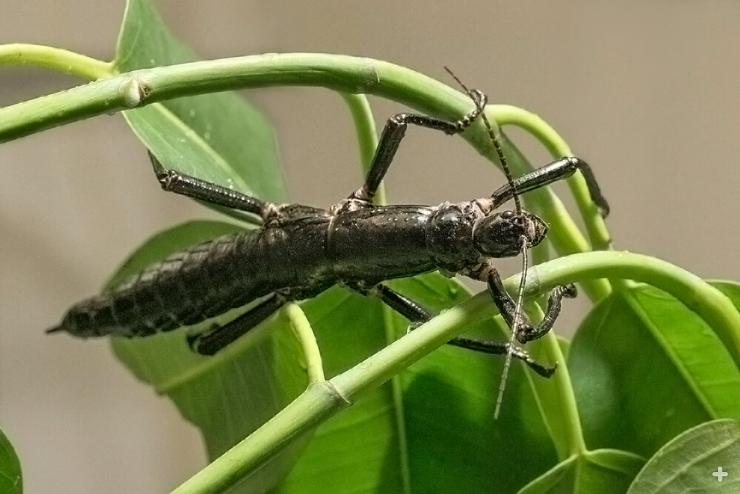 An adult Lord Howe Island stick insect is black in color. The bright green youngsters gradually darken as they mature.