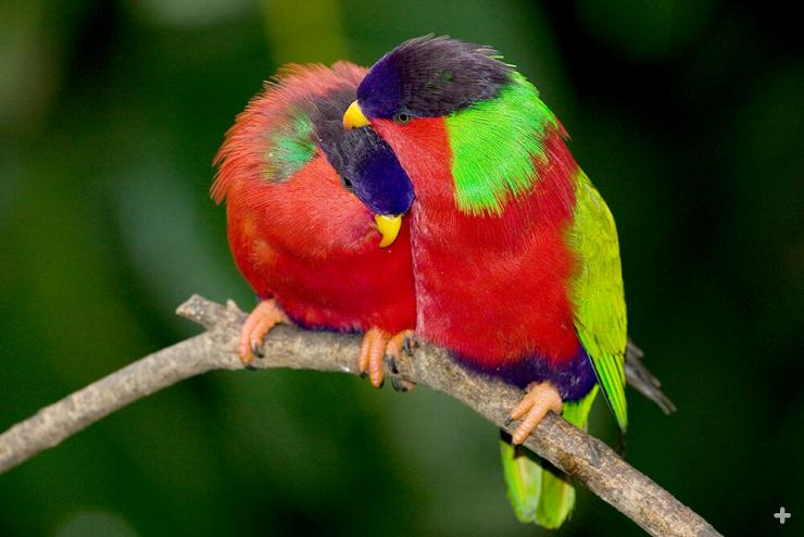 Collared lories live in the forests of the Fiji islands but can be found in towns and villages, too.