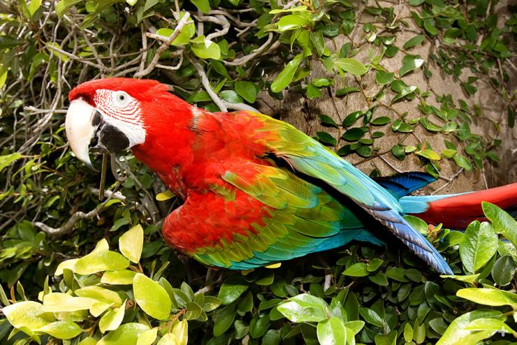 The scarlet macaw's bright colors may seem to make it stand out in a crowd, but they actually help macaws blend in with the green leaves, red and yellow fruits, and bluish shadows of their forest habitat.