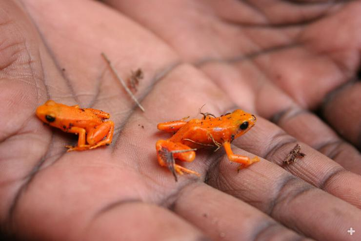 Tiny golden mantella frogs are among the most brightly colored and eye-catching of all frogs.