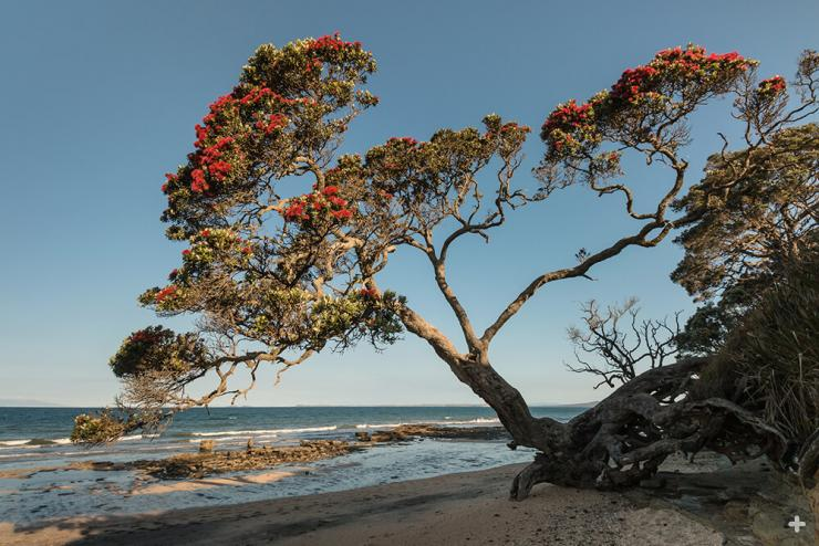 On coastlines of northern New Zealand, póhutukawa trees thrive in the face of salt spray and strong winds.