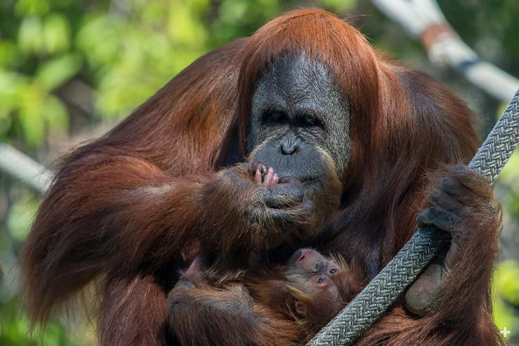 An orangutan baby instinctually hangs on to its mother's hair.  Here, mother Indah inspects her baby's fingers.