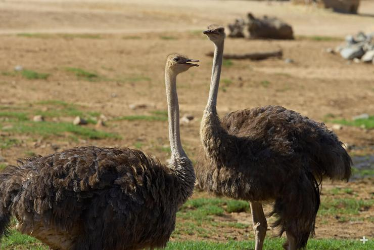 Ostriches sometimes gather in a large flock of 100 or more, but most flocks are smaller, usually about 10 birds or just a pair.