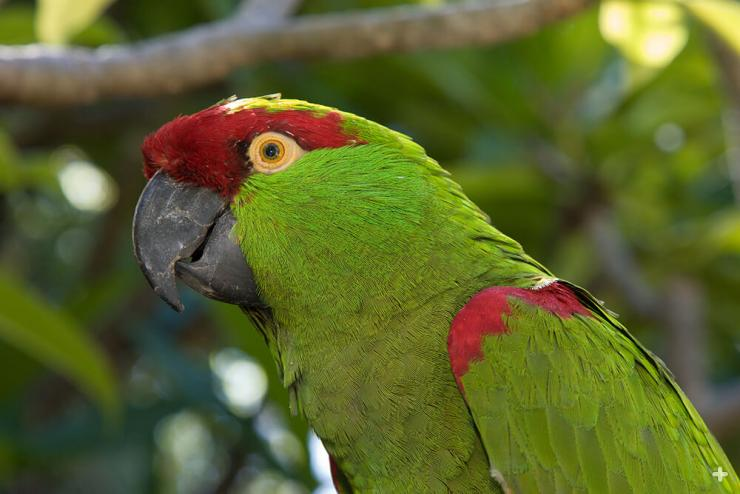 Thick-billed parrots are one of the few species that once lived in the US; now they are found only in northern Mexico.