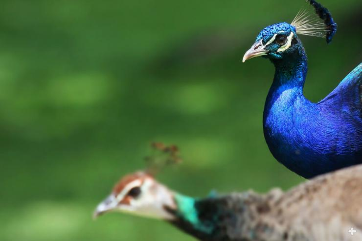 Both male and female peafowl have a very distinctive crest of uniquely shaped feathers on the head.