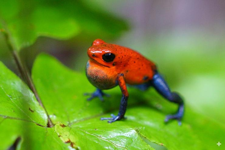 Most poison frog species' skin secretions are considered toxic but not deadly—however, they are distasteful to predators and can cause muscle paralysis, and some can be fatal.