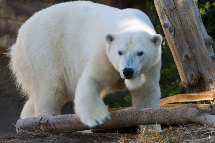 Even though polar bears look white, their hair is really made of clear, hollow tubes filled with air.