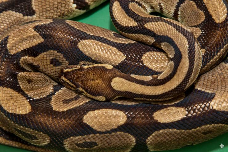 Pythons, like this ball python, wrap coils of their body around their prey and squeeze tightly. Instead of crushing their prey, they suffocate it by constricting its breathing.