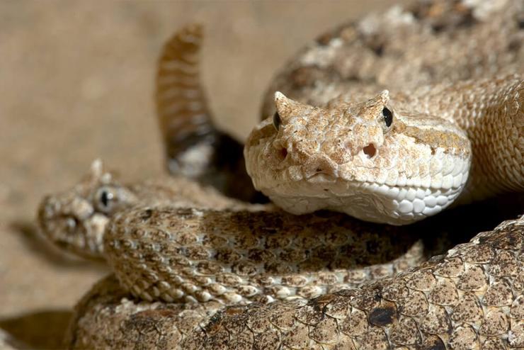 rattlesnake_horned?itok=RK9VTYKD rattlesnake san diego zoo animals & plants