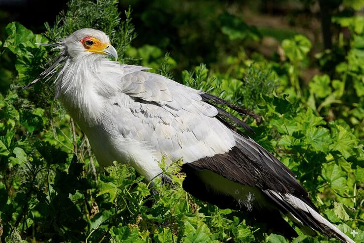 While they spend their days on the ground, secretary birds are good fliers. They nest and roost high up in acacia trees at night.