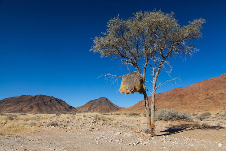 A sociable weaver nest, like this one in a tree in Namibia, looks something like a haystack and can be quite huge.