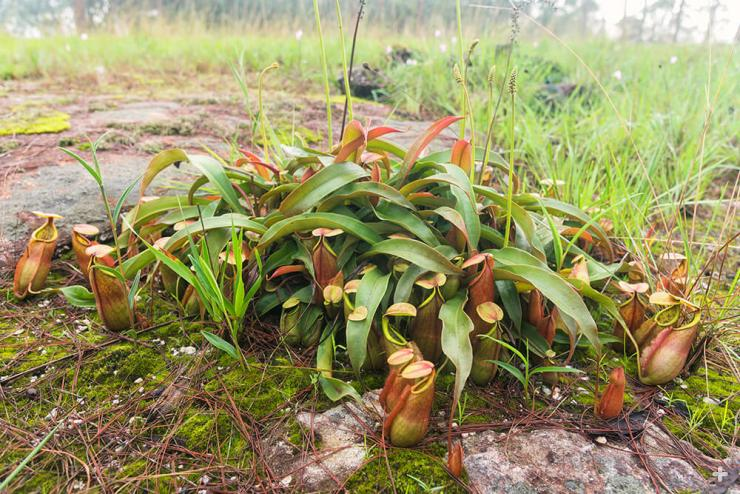 Tropical pitcher plants growing in the wild