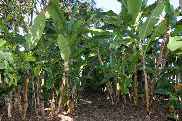 "Banana ""trees"" are actually pseudo-trees."
