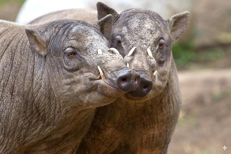 Two young male babirusas compare tusks.